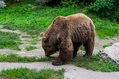 Bear smelling trails. On the path Royalty Free Stock Images