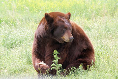 Bear Snack Royalty Free Stock Images