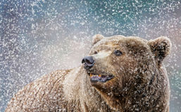 Bown Bear in Snow  Royalty Free Stock Image
