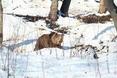 Bear in snow. Bear walking towards camera through snow patches Stock Photography