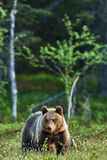 Bear in Spring Royalty Free Stock Photos