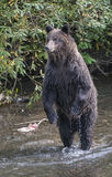 Bear stand. A grizzly bear stands on his hind legs in a creek during salmon run season in British Columbia, Canada Royalty Free Stock Photography