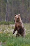 Bear standing Stock Photos