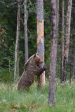 Bear standing Royalty Free Stock Photos