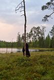 Bear standing in bog Royalty Free Stock Photography