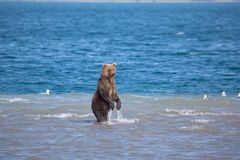 Bear standing fishing in water. Kronotsky nature reserve. Kamchatka. Russia royalty free stock photo
