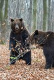 Bear standing on his hind legs in the autumn forest stock photography