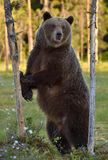 The She-bear standing on his hind legs. The She-bear standing on his hind legs on the swamp on summer forest. Ursus Arctos Brown Bear stock image