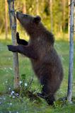 The Cub of Brown Bear Ursus Arctos standing on hinder legs. The She-bear standing on his hind legs on the swamp on summer forest. Ursus Arctos Brown Bear royalty free stock photos