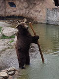 Bear with the stick Royalty Free Stock Photo