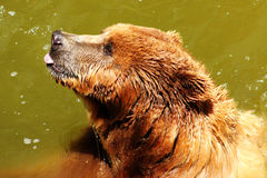 Bear sticking out tongue. In the water Royalty Free Stock Images