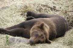 Bear - Stockholm zoo. Relaxing / Sleeping bear at the Stockholm Zoo Royalty Free Stock Image