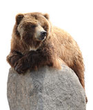 Bear on a stone. Brown bear relaxing on a rock isolated on white Stock Photography