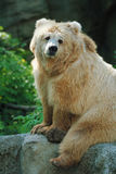 Bear on a stone Stock Images