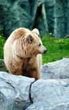 Bear on a stone Royalty Free Stock Image