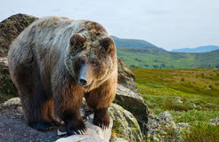 Bear on stone at  wildness Royalty Free Stock Photos
