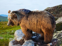 Bear on stone in wildness area. At mountains Royalty Free Stock Photography