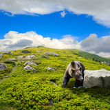 Bear among stones on the hillside Stock Image
