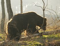 Bear in the sunset. A bear in the forest Stock Images