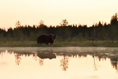 Bear after sunset royalty free stock photography