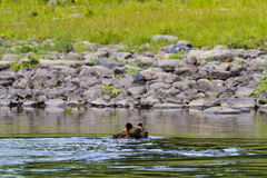 Bear swim on the a big river. Somewhere in northern Siberia. Russia stock image