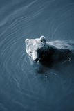 Bear swimming Stock Images