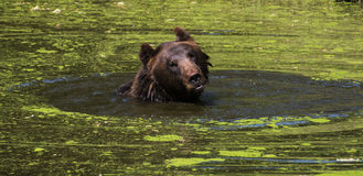 Bear swimming Royalty Free Stock Photo