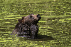 Bear swimming Royalty Free Stock Image