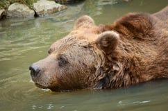 Bear Swimming Royalty Free Stock Photos