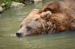 Bear Swimming Royalty Free Stock Images