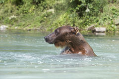 Bear Swimming In River Royalty Free Stock Photo