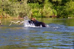 Bear swims across the river `Bolishaya` Russia stock photos