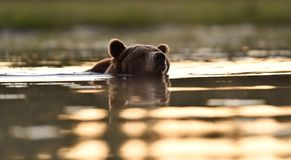 Brown bear swims in a pond Stock Photography