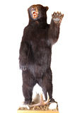 Bear taxidermy Stock Photo