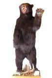 Bear taxidermy Stock Photo
