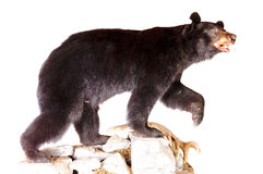 Bear taxidermy Stock Photos