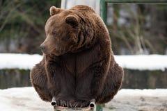 Bear on toboggan Stock Photos