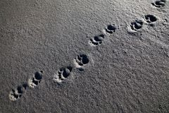 Bear track on the beach, Lost Coast, California Royalty Free Stock Images
