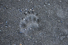 Bear track in the sand. Stock Photo