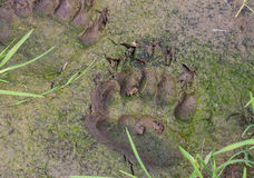 Bear tracks Stock Photo