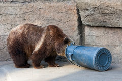 Bear and Trash Can. Bear digging through a trash can inthe San Francisco Zoo stock photos