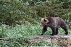 Bear on tree Stock Photos