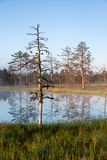 Bear trees and reflecions on water. A photo taken in a marsh where tall bare trees grow next to a pond in a grass. The pond reflects the shape of trees. The pond Stock Photos