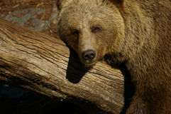 Bear on a trunk 1 Royalty Free Stock Photos
