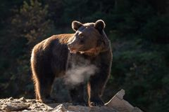 Bear Ursus arctos in autumn forest royalty free stock photos
