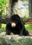 Bear (Ursus malayanus) Stock Photos