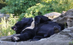 Black bear relax. The bear on vacation, sunbathes on the sun, animal, fauna, nature Stock Photo