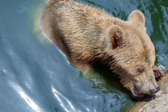 Bear. Royalty Free Stock Photos
