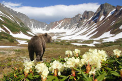 Bear in volcano. Bear in crater of the vulcan amongst flowers and snow Stock Images