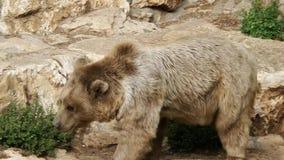 Bear a walk stock footage